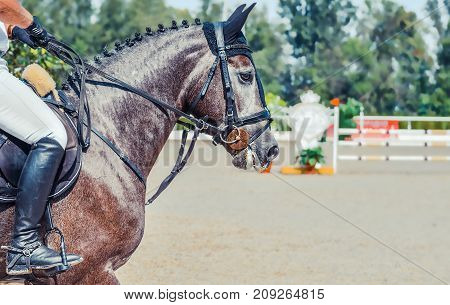 Dapple gray dressage horse and rider in uniform performing jump at show jumping competition. Equestrian sport background. Silver dapple horse portrait during dressage competition. Selective  focus.