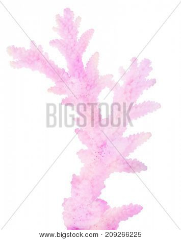 light coral isolated on white background