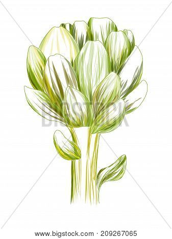 Artichoke green flower head isolated on white background. Fresh eco-friendly product.Organic healthy food. Vector vegetable illustration. Design for health and beauty natural product.Hand drawn print.