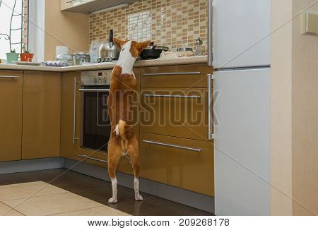 Cheeky basenji dog inspecting kitchen while being home alone