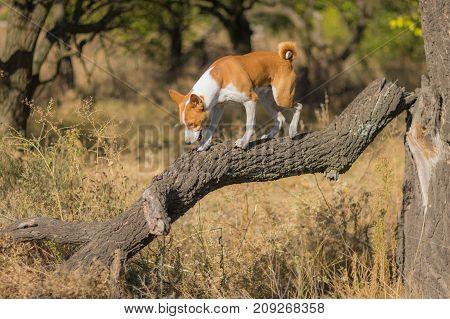 Wild Basenji exploring nearest territory on a broken tree branch at sunny day