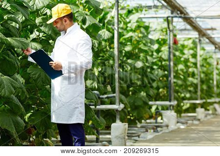 Young agro-engineer looking at foliage of cucumber plants while making research