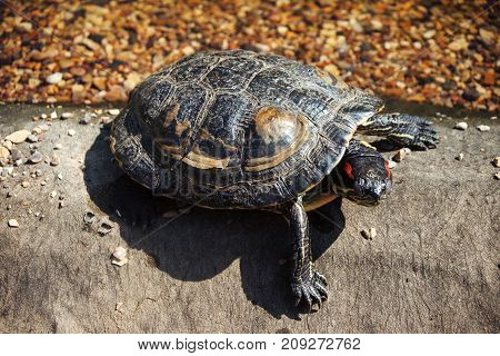 Red-bellied tortoise close-up in sunlight. On a gray surface, against a background of orange-black pebbles.