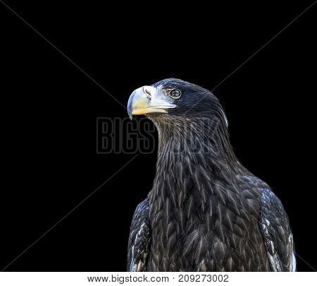 Head of golden eagle bird isolated on white background. Closeup.