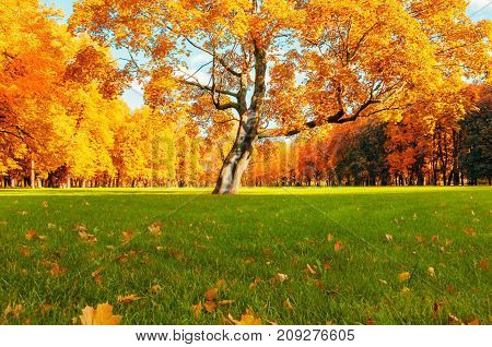 Autumn landscape. Autumn tree in sunny autumn park lit by sunlight. Deciduous autumn tree under sunlight in the autumn park. Park autumn landscape with autumn trees and fallen autumn leaves.