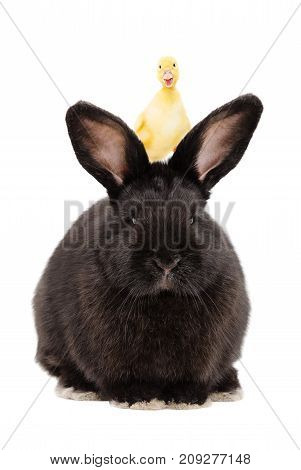 Portrait of a black rabbit with a duckling on his head, isolated on white background