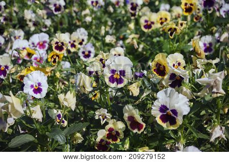 A flower bed with multi-colored pansies. Close-up, selected focus.
