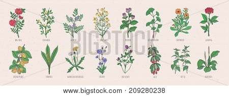 Collection of wild meadow herbs, blooming flowers and tropical plants with edible berries hand drawn in vintage style and isolated on white background. Detailed botanical vector illustration