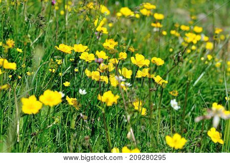 closeup of yellow flowers in the grassland