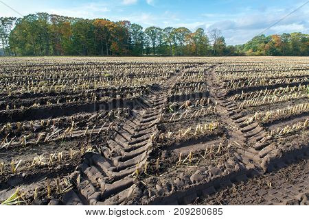 Harvest time in fall on corn field with plant stubbles