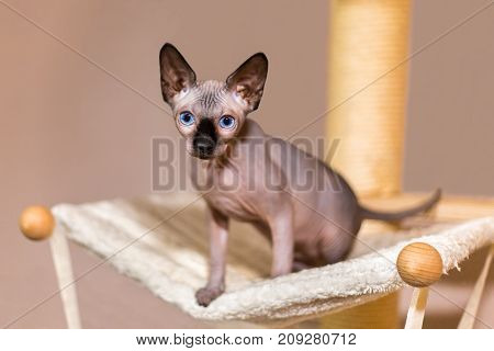 Young colourpoint sphynx cat on scratching post