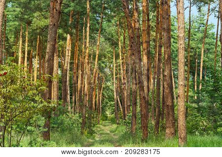 Nice Pine forest trees. Beauty nature background