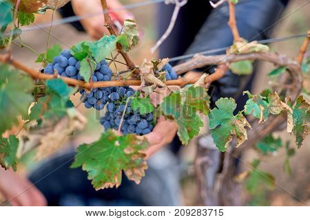 Close up of Worker's Hands Cutting Red Grapes from vines during wine harvest in Moldova Vineyard.