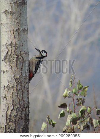 A woodpecker pecking a hole in a poplar tree.