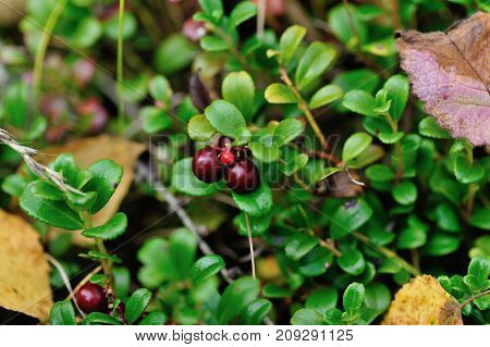 red huckleberry fruits in growth in the forest