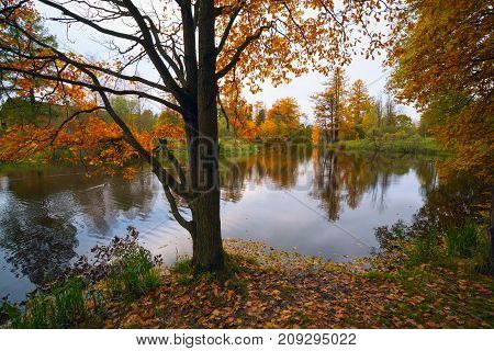 Oak tree with yellow-orange foliage on the edge of lake in the fall.