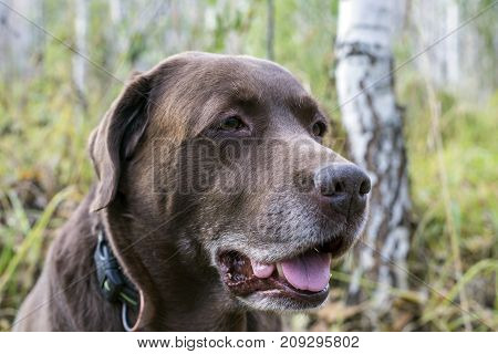 look at the chocolate labrador aside in the woods.