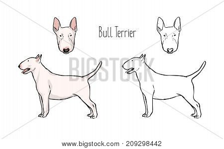 Set of colored and monochrome line drawings of head and full body of Bull Terrier, front and side views. Gorgeous fighting dog of short-haired breed. Realistic vector illustration
