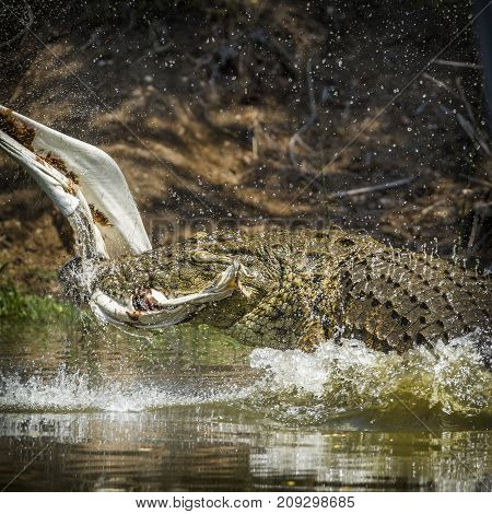 Nile crocodile in Kruger national park, South Africa Specie Crocodylus niloticus family of Crocodylidae