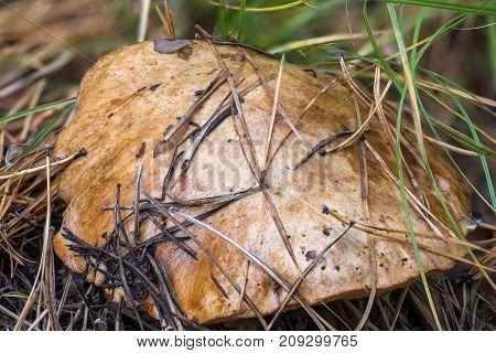 The cap of edible mushroom Suillus luteus close up