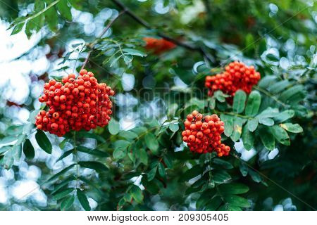 Ripe berries mountain ash, grow on a tree, autumn red berries, close-up, vintage style in a park.