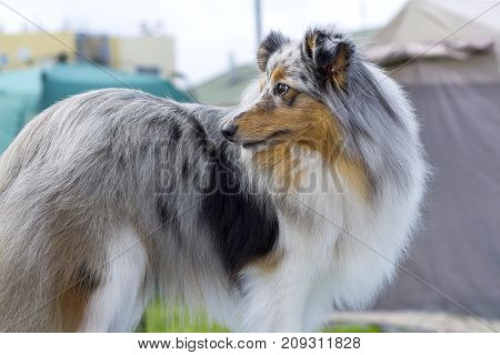 Collie, group of breeds of shepherd dogs originating from Scotland. Space under the text. 2018 year of the dog in the eastern calendar Concept: parodist dogs, dog friend of man, true friends, rescuers.