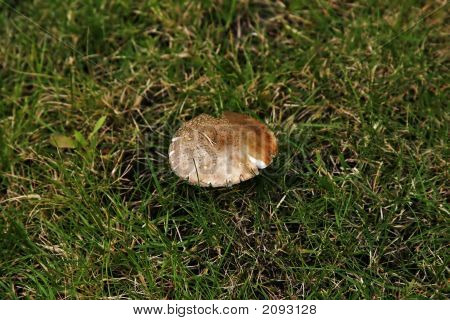Lonely Toadstool In A Field Of Grass