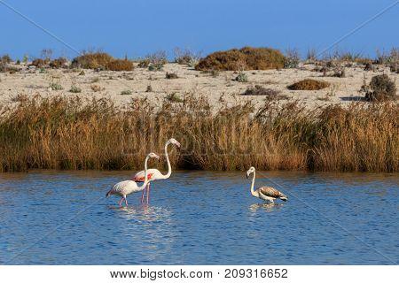 pink flamingos walking through the water. Lefkada Greece