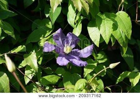 colorful flower clematis in the sun in an autumn garden
