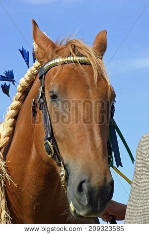 Brown heavy horse at an agricultural show with bridle and rope. Background of blue sky.