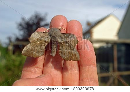 Poplar hawk moth (Laothoe populi) on a hand to show scale with buildings and trees in the background.