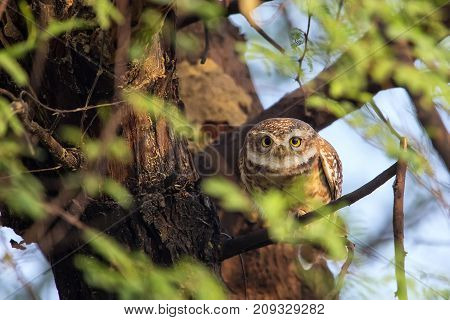 Spotted Owlet (athene Brama) Sitting On A Tree In Keoladeo Ghana National Park,  Bharatpur, India.