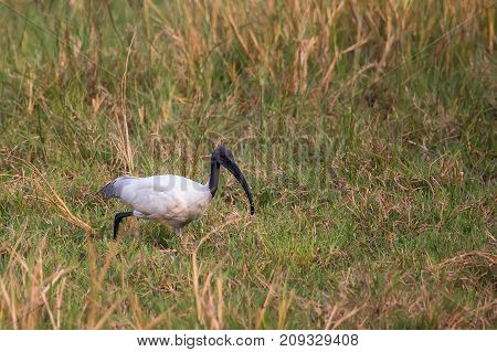 Black-headed Ibis (threskiornis Melanocephalus) Walking In Keoladeo Ghana National Park, Bharatpur,