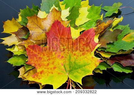 Autumn theme: autumn rapsody from maple leaves of different colors. Maple leaves on the wooden table.