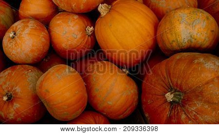 Harvest of large pumpkins in the Autumn months