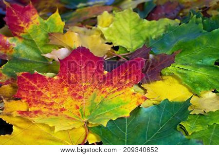 Beautiful colorful background of maple leaves. Red yellow green and brown maple leaves.