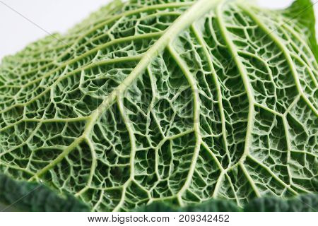 A leaf of a savoy cabbage close-up, the leaf veins and texture are clearly visible, macro