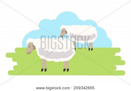 Fluffy curly sheeps with clean fur on green field under blue sky isolated cartoon flat vector illustration on white background. Calm domestic animals from farm that pasture on glassy fresh meadow.