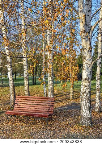 Bright colorful autumn landscape in city park wooden bench under the white birch trees on the carpet of orange fallen leaves at sunny day