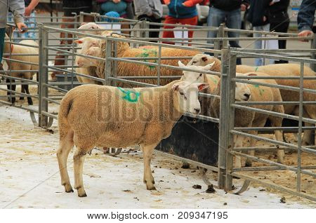 herd of sheep in the enclosure at the exhibition of farm animals in Vendryne, Czech Republic, October 14, 2017