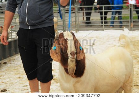 big male Boer goat walking on the leash at the exhibition of farm animals in Vendryne, Czech Republic, October 14, 2017