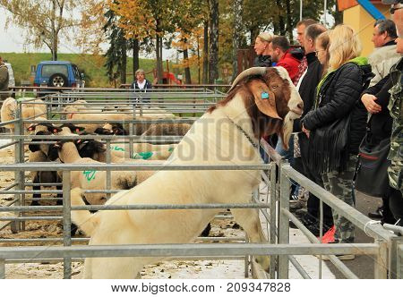 male Boer goat looking over the fence of the enclosure at the exhibition of farm animals in Vendryne, Czech Republic, October 14, 2017