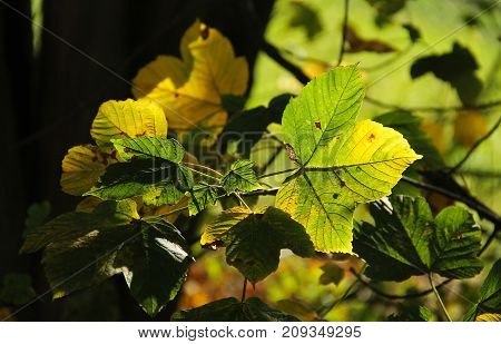 green and yellow leaves of maple tree enlightened with the sun in contrast with darker background