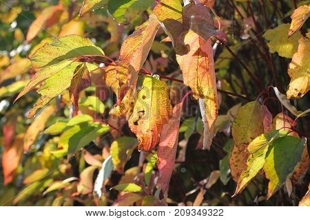 twig of a tree with nice yellow and red leaves enlightened with the sun