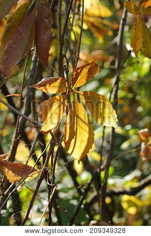 close photo of a yellow leaf of woodbine enlightened with the sun in autumn