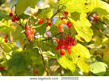 close photo of some  red fruits of guelder rose (Viburnum opulus)