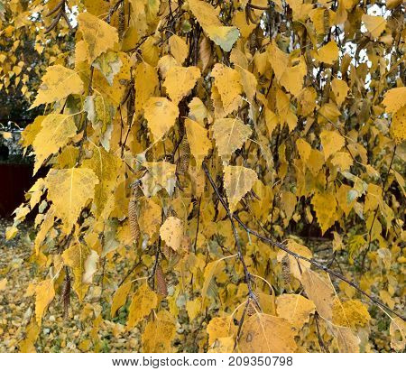Birch Tree With Autumn Yellow Leaves