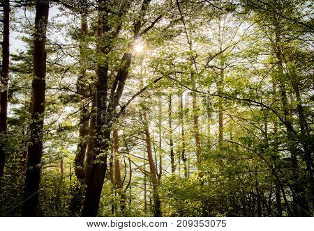 The sun shining through bright green tree leaves at the start of summer in a Japanese forest.
