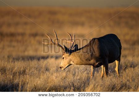 Buck Mule Deer staring at the rising sun on the Colorado Prairie