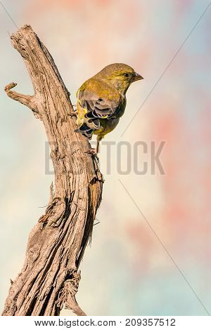 Single Greenfinch Songbird Perched On Dry Worn Twig